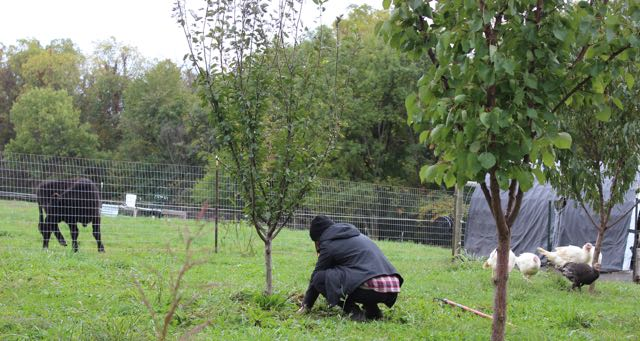A short-term WWOOF'er weeds the orchard, while the turkeys and steers watch.